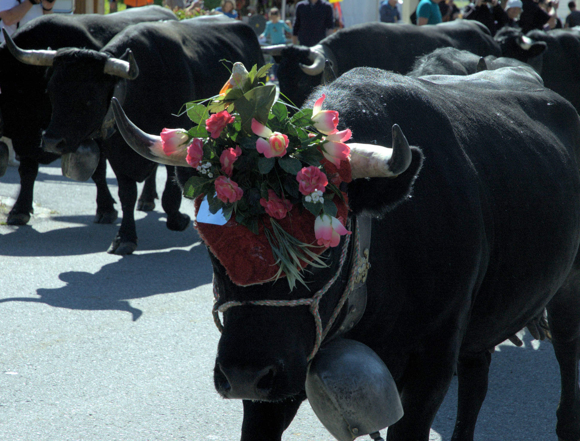vaches_12